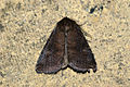 (2302) Brown Rustic (Rusina ferruginea) (3565897662).jpg