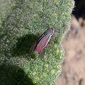 (Arizona ) Hopper - Flickr - gailhampshire.jpg