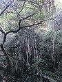 Árbol en camino de Incallajta.jpg