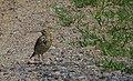 Ängspiplärka Meadow Pipit (14296456317).jpg