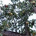 """Äppel an der """"Jeeërheck"""", Senneng-102.jpg"""
