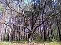 Апостоловский лес ветвистый дуб.jpg