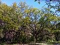Апостоловский лес дубы апрель.jpg