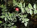 Красная ягодка с мыса Айя by SIV.JPG