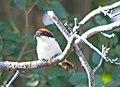 Красноголовый сорокопут - Woodchat Shrike - Lanius senator - Червеноглава сврачка - Rotkopfwürger (34926437613).jpg