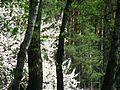 Лесная алыча - panoramio.jpg