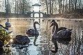 Молоді лебеді в дендропарку Олександрія.jpg