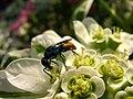 Оса-блискітка Chrysis scutellaris, що харчується на квітах Euphorbia marginata.jpg