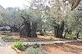 Оld Olive trees in the Garden of Gethsemane, 04.jpg