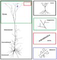 Пирамидальный нейрон L5.png
