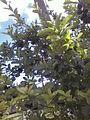 Черноплодная рябина 6.jpg