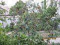 درخت آلبالو.jpg