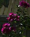 گل کاغذی- Bougainvillea 10.jpg