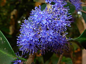 Memecylon umbellatum - Image: കായാമ്പൂ
