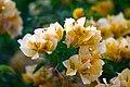 ดอกไม้ในอุทยาน Plants of Thailand by Peak Hora Photographer 3427.jpg