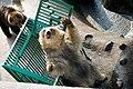 のぼりべつクマ牧場10 白い毛のエゾヒグマ.jpg