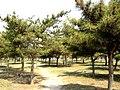 城中绿化带-松林 - panoramio.jpg