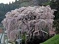 大谷ツの紅枝垂桜 - panoramio.jpg