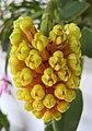 寄樹蘭 Robiquetia cerina -香港青松觀蘭花展 Tuen Mun, Hong Kong- (13918350939).jpg