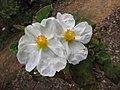 岩薔薇屬 Cistus populifolius -比利時 Ghent University Botanical Garden, Belgium- (9229777916).jpg