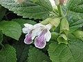 歐洲蜜蜂花 Melittis melissophyllum -比利時 Ghent University Botanical Garden, Belgium- (9252406569).jpg