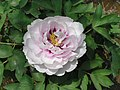 牡丹-荷花型 Paeonia papaveracea Lotus-series -洛陽西苑公園 Luoyang Botanical Garden, China- (9227115661).jpg