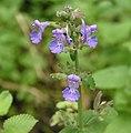 紫花貓薄荷 Nepeta x faassenii -台北士林官邸 Taipei, Taiwan- (9200926092).jpg