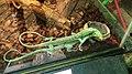 翡翠巨蜥 Varanus prasinus - panoramio.jpg