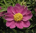 芍藥-深紫紅單片 Paeonia lactiflora 'Deep Purplish Red Single' -北京景山公園 Jingshan Park, Beijing- (12380139785).jpg