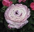花毛莨 Ranunculus asiaticus -香港花展 Hong Kong Flower Show- (9252463377).jpg