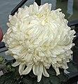 菊花-粉姑採蓮 Chrysanthemum morifolium 'Pink Girl Picking Lotus' -中山小欖菊花會 Xiaolan Chrysanthemum Show, China- (12026334765).jpg