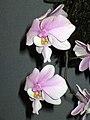 蝴蝶蘭屬 Phalaenopsis schilleriana -香港沙田洋蘭展 Shatin Orchid Show, Hong Kong- (9166002356).jpg