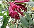 長筒曼陀羅屬 Iochroma grandiflora -比利時國家植物園 Belgium National Botanic Garden- (9207600792).jpg
