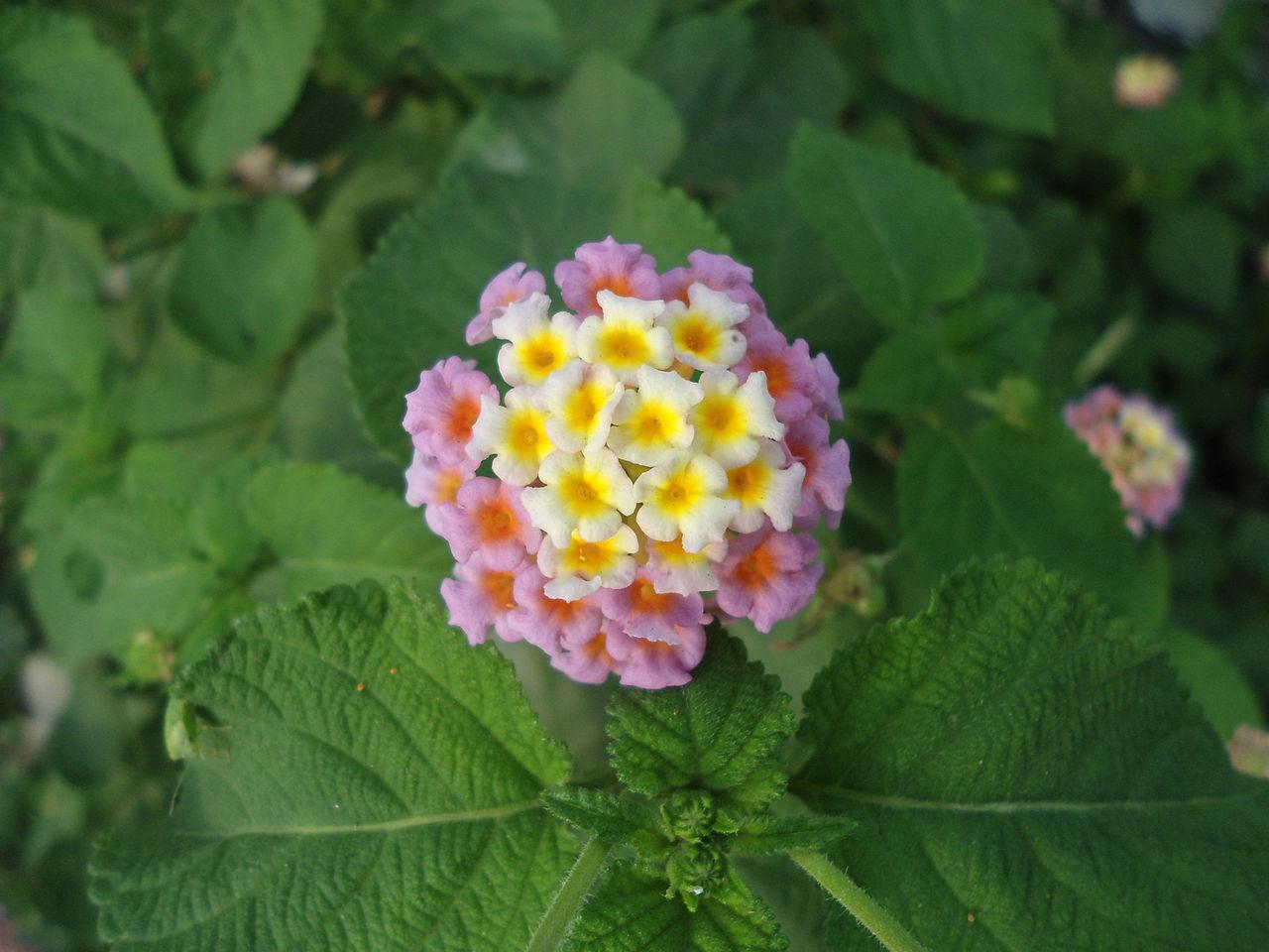 1280px-(Lantana_camara)_flower_at_Madhur