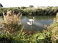-2018-10-13 Swans, Ebridge Mill, North Walsham and Dilham Canal, Norfolk (6).JPG