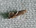 - 2346 – Diploschizia impigritella – Yellow Nutsedge Moth (43489435224).jpg
