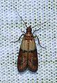 - 6019 – Plodia interpunctella – Indian Meal Moth (13195472415).jpg