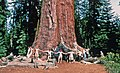 00 2581 Sequoiadendron giganteum - California Sierra Nevada.jpg
