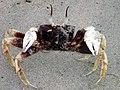 101118 Running ghost crab Gnaraloo Bay Rookery.JPG