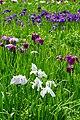 140614 Yagyu Iris Garden Nara Japan03bs5.jpg