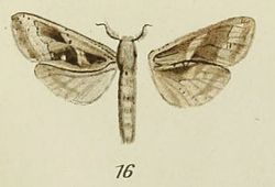 16-Oreocossus occidentalis Strand, 1913.JPG