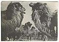 1934. Верблюды.jpg