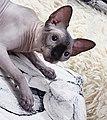 1 adult cat Sphynx. img 020.jpg