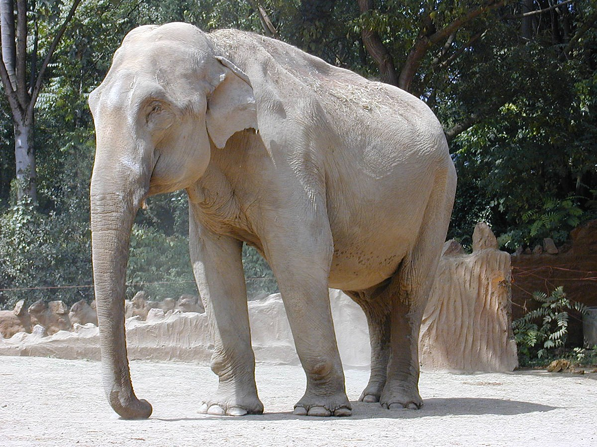 фото индийский слон