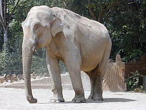 Asiaatisk Elefant