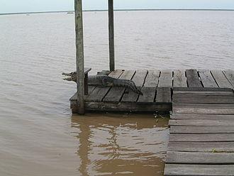 Río Pilcomayo National Park - A yacare caiman on a Laguna Blanca observation platform.