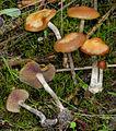2012-12-05 Psilocybe cyanescens Wakef 290263 crop.jpg