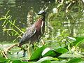 2013-05-06 - Green Heron, Lafayette, LA.JPG