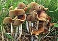 2013-10-30 Psilocybe cyanescens Wakef 380747.jpg