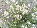 20130704Lepidium latifolium.jpg